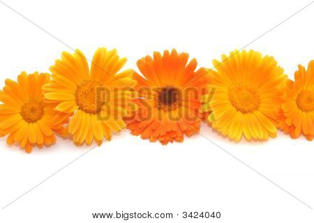 Flowers Of A Calendula