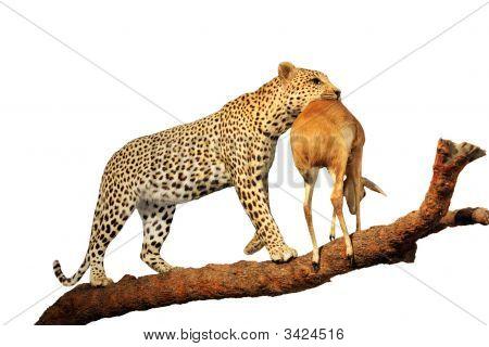 Leopardo revisado copia
