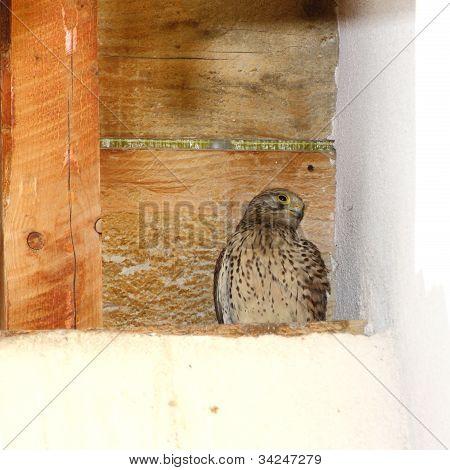 Juvenile Kestrel On Nest