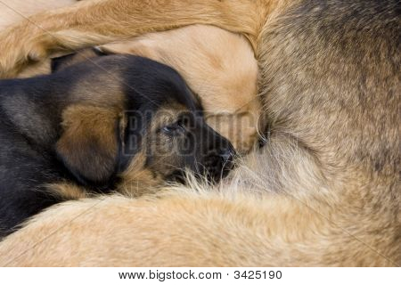Dog Puppy Lying Beside His Mother