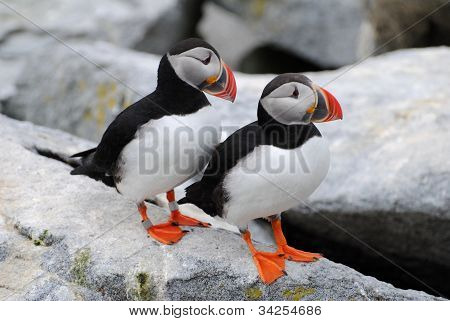Puffin Couple