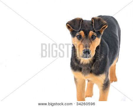 stray dog on white background