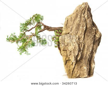 Juniperus communis suspended nana bonsai isolated on white