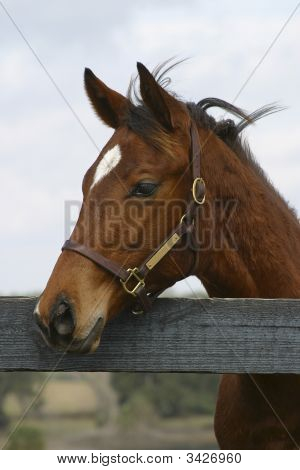 Thoroughbred At Fence