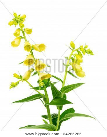 Flowering Yellow Foxglove
