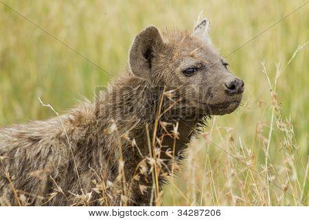 Spotted Hyena in Savanna Grass