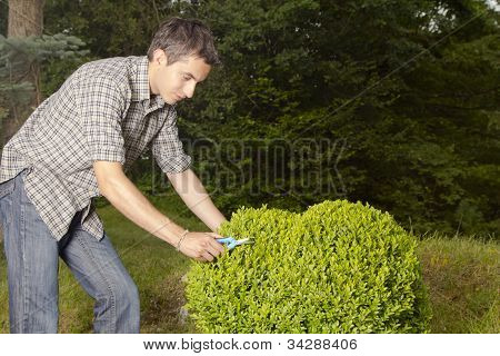 Man cutting and trimming box tree