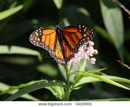 Monarch Butterfly Of Happness Orange And White