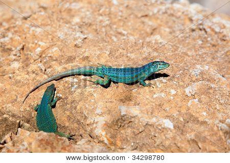 formentera lizard couple Podarcis pityusensis formenterae