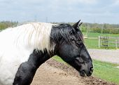 Portrait Of Black And White  Horse With Black And White Mane poster