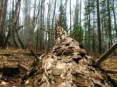 Pine Tree Trunk Cut In The Forest. Horizontal. Fallen Tree Trunk On The Ground In Autumn. poster