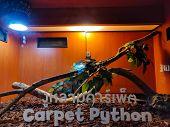 Carpet Python Swirled Up On The Light Hanger. The Non-english Text Translates To Carpet Python poster