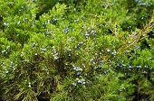 Blue Juniper Berries. Green Juniper With Juniper Berry. Juniperus Excelsa Or Greek Juniper Blue Berr poster