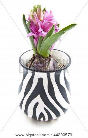 Lovely Hyacinth