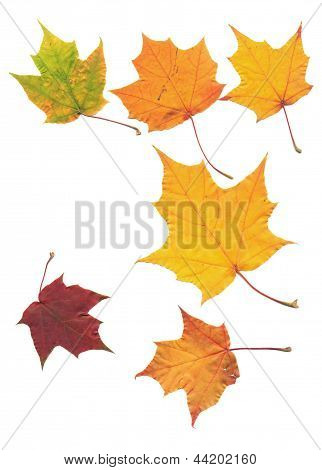 Real Maple Tree Leaf Isolated On White Scanned