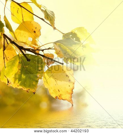 Yellow Leaves Of Birch