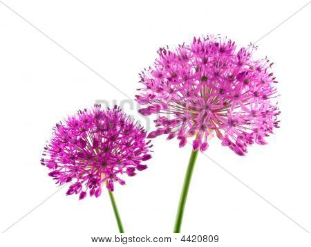 Allium Purple Sensation Flowers