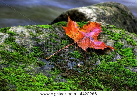Picture of Maple Leaf