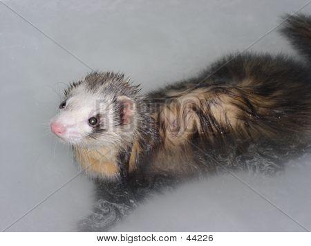 Ferret In Bath