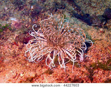 Anemones of the Philippine sea