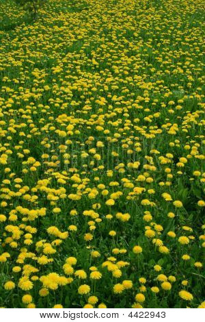 Floral Background Dandelion