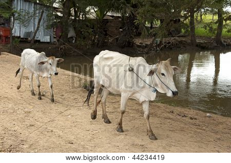 Zebu cow with calf
