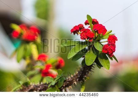 Red Flowers Poi Sian
