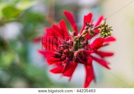 Erythrina Variegata (Parichat Blumen)