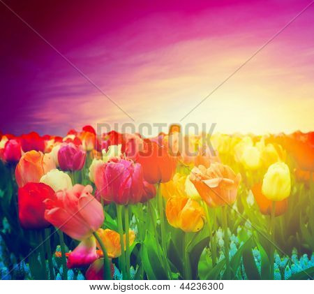 Tulip flowers field in artistic mood. Sunset purple pink sky.