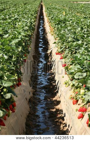 Fresh Strawberry Fields AKA Fragaria Ã?Â? ananassa or Garden Berry growing in rows in a Strawberry Field in Southern California