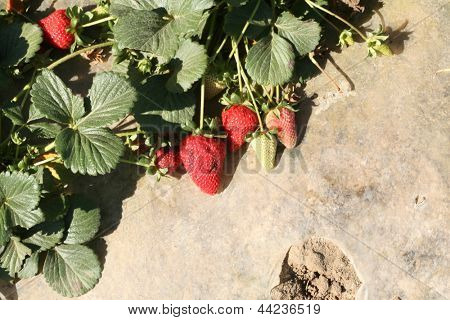 Strawberries AKA Fragaria Ã??Ã?? ananassa, or garden strawberry, is a hybrid species that is cultivated worldwide for its fruit, growing in a Strawberry Field in Southern California