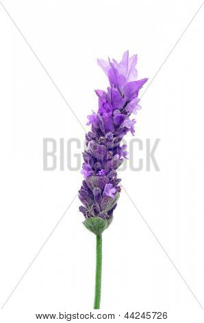 a lavender flower on a white background