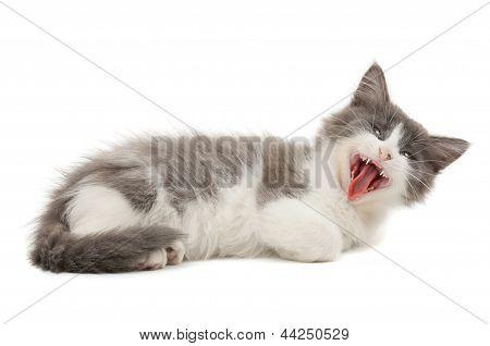 Grey and white yawning kitten