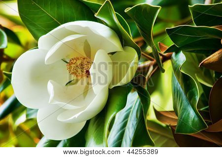 White flower of a magnolia