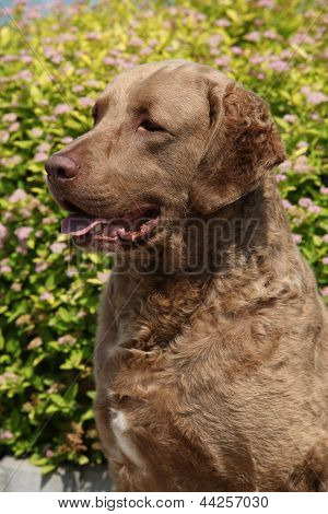 Chesapeake Bay Retriever In Beautiful Garden