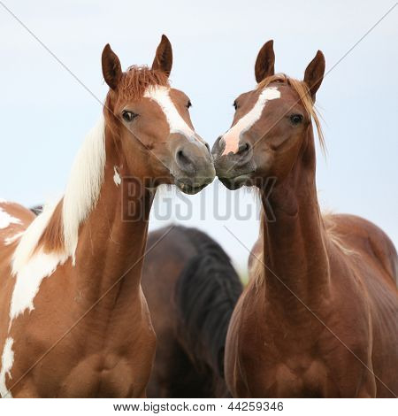 Two Young Horses Together On Pasturage