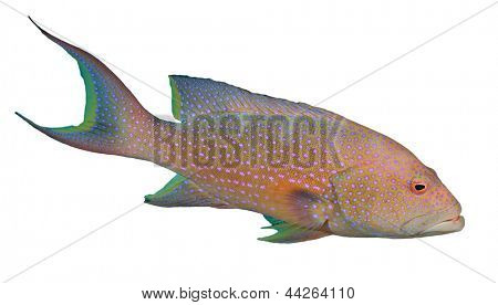 Lyretail Grouper fish isolated on white background