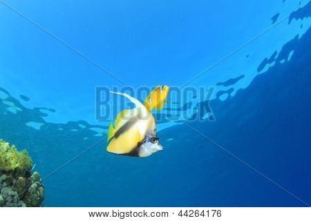 Red Sea Bannerfish and clownfish