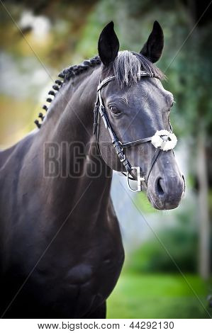 black trakehner horse on green background in summer