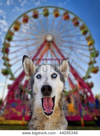 wolf mix making a funny face in front of a ferris wheel