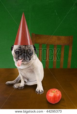 a pug with a dunce hat on