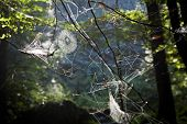 Spiderwebs in forest 2