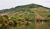 image of moselle  - The vineyards along the river Moselle - JPG