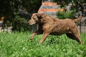 Chesapeake Bay Retriever Running In Garden