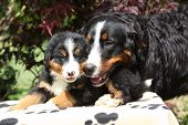 foto of bitch  - Bernese Mountain Dog bitch checking out its puppy in front of dark red leaves - JPG