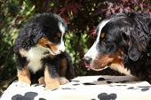 stock photo of bitch  - Bernese Mountain Dog bitch checking out its puppy in front of dark red leaves - JPG