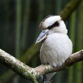 image of kookaburra  - Details of a laughing kookaburra in captivity.