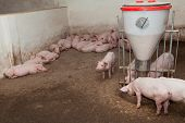 stock photo of slaughter  - Ready for slaughtering pigs on the farm - JPG