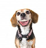 stock photo of begging dog  - a cute beagle with a big grin looking at the camera - JPG