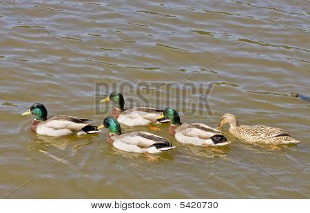 Five Mallards In Lake